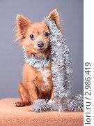 Купить «Очаровательный пес в новогодней мишуре», эксклюзивное фото № 2986419, снято 19 сентября 2018 г. (c) Яна Королёва / Фотобанк Лори