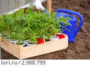 Купить «Рассада помидоров перед посадкой в теплице», фото № 2988799, снято 8 мая 2011 г. (c) Яков Филимонов / Фотобанк Лори