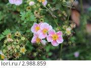 Розовый цветок. Стоковое фото, фотограф Андрей Тунев / Фотобанк Лори