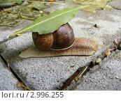 Улитка несущая лист. Стоковое фото, фотограф Олег Столяров / Фотобанк Лори