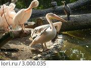 Пеликаны. Стоковое фото, фотограф Виталий Куценко / Фотобанк Лори