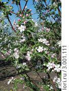 Цветущая яблоня. Стоковое фото, фотограф Ковальский Сергей / Фотобанк Лори