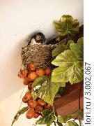 Купить «Подросший птенец ласточки в гнезде. Деревенская ласточка, касатка (лат. Hirundo rustica)», эксклюзивное фото № 3002067, снято 16 августа 2011 г. (c) Щеголева Ольга / Фотобанк Лори