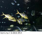 Купить «Петербургский океанариум. Стая рыб лоцманов (Pilotfish / Naucrates ductor) проплывает над прозрачным тоннелем для посетителей», фото № 3003951, снято 29 октября 2011 г. (c) Сергей Дубров / Фотобанк Лори