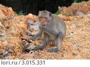 Обезьяна-самец, с ярко выраженными половыми признаками, кушает манго (2010 год). Стоковое фото, фотограф Юрий Кузовлев / Фотобанк Лори