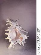 Ракушка. Стоковое фото, фотограф Чернецкая Снежана / Фотобанк Лори