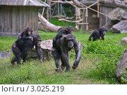 Шимпанзе в зоопарке. Стоковое фото, фотограф Наталья Степанова / Фотобанк Лори