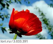 Цветущий  красный мак на фоне голубого неба. Стоковое фото, фотограф Анна Мишина / Фотобанк Лори
