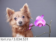Купить «Портрет собаки и цветок розовой орхидеи», эксклюзивное фото № 3034531, снято 15 ноября 2018 г. (c) Яна Королёва / Фотобанк Лори