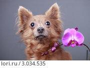 Купить «Портрет собаки с цветком орхидеи», эксклюзивное фото № 3034535, снято 15 ноября 2018 г. (c) Яна Королёва / Фотобанк Лори