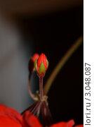 Герань. Стоковое фото, фотограф Anastasiya Avdeeva / Фотобанк Лори