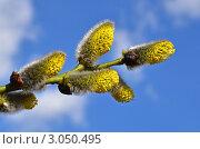 Купить «Цветущая ветка ивы», эксклюзивное фото № 3050495, снято 24 апреля 2011 г. (c) Елена Коромыслова / Фотобанк Лори