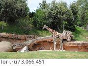 Биопарк в Валенсии. Жираф. Стоковое фото, фотограф Татьяна Королева / Фотобанк Лори