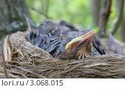 Гнездо с птенцами. Стоковое фото, фотограф Елена Фомичева / Фотобанк Лори