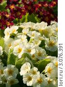 Купить «Утренняя роса на белых цветах примулы», эксклюзивное фото № 3076391, снято 21 мая 2011 г. (c) Щеголева Ольга / Фотобанк Лори
