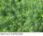 Купить «Молочай кипарисовый (Euphorbia cyparissias)», фото № 3076539, снято 5 июля 2011 г. (c) Заноза-Ру / Фотобанк Лори