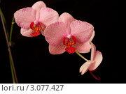 Розовая орхидея на черном фоне. Стоковое фото, фотограф Михеев Павел / Фотобанк Лори