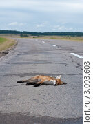 Купить «Сбитая автомобилем лисица на дороге», фото № 3093603, снято 3 августа 2011 г. (c) Михаил Треусов / Фотобанк Лори