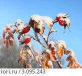 Шиповник под снегом. Стоковое фото, фотограф Ольга Левонович / Фотобанк Лори