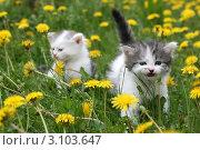Купить «Белые котята бегают по траве», фото № 3103647, снято 15 мая 2010 г. (c) Ирина Иванова / Фотобанк Лори