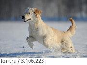Золотистый ретривер (лабрадор) бежит по снегу. Стоковое фото, фотограф Антонова Виктория Юрьевна / Фотобанк Лори