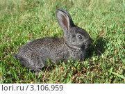 Купить «Серый крольчонок на траве», фото № 3106959, снято 23 июня 2008 г. (c) Григорий Писоцкий / Фотобанк Лори
