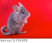Фиолетовая эбонитовая шиншилла на сидит задних лапах  на красном фоне. Стоковое фото, фотограф Vitas / Фотобанк Лори