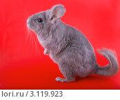 Фиолетовая эбонитовая шиншилла на задних лапах  на красном фоне. Стоковое фото, фотограф Vitas / Фотобанк Лори