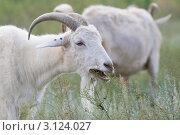Купить «Жующая коза», эксклюзивное фото № 3124027, снято 6 августа 2011 г. (c) Шичкина Антонина / Фотобанк Лори