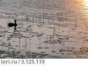 Купить «Утка плавает в озере», эксклюзивное фото № 3125119, снято 20 июля 2011 г. (c) Александр Алексеев / Фотобанк Лори