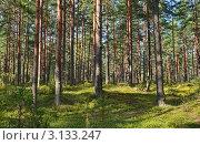Купить «Сосновый лес в Тверской области», эксклюзивное фото № 3133247, снято 1 августа 2011 г. (c) Елена Коромыслова / Фотобанк Лори
