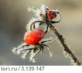Купить «Иней на ягодах шиповника», фото № 3139147, снято 11 января 2012 г. (c) Татьяна Грин / Фотобанк Лори