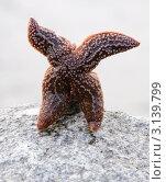 Купить «Морская звезда на камне», эксклюзивное фото № 3139799, снято 18 сентября 2011 г. (c) Вячеслав Палес / Фотобанк Лори