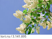 Купить «Цветущая белая сирень на фоне голубого неба», фото № 3141895, снято 24 мая 2011 г. (c) Алёшина Оксана / Фотобанк Лори