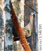 Токующий глухарь на сосне. Стоковое фото, фотограф Юрий Сараев / Фотобанк Лори