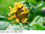 Купить «Подсолнух (Helianthus annuus)», эксклюзивное фото № 3150731, снято 8 июля 2010 г. (c) Алёшина Оксана / Фотобанк Лори