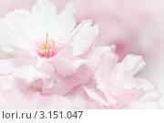 Купить «Розовые цветы цветущей сакуры крупным планом», фото № 3151047, снято 4 апреля 2020 г. (c) Sergey Borisov / Фотобанк Лори