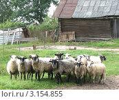 Стадо баранов на скотном дворе. Стоковое фото, фотограф Воробьева Елена / Фотобанк Лори