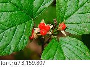 Купить «Костяника каменистая (Rubus saxatilis) и муравей», эксклюзивное фото № 3159807, снято 6 июля 2010 г. (c) Алёшина Оксана / Фотобанк Лори