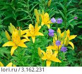 Купить «Желтая лилия (Lilium) и колокольчик персиколистный (Campanula persicifolia)», эксклюзивное фото № 3162231, снято 8 июля 2010 г. (c) Алёшина Оксана / Фотобанк Лори