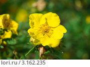 Купить «Лапчатка кустарниковая желтая мелкоцветковая (Potentilla fruticosa)», эксклюзивное фото № 3162235, снято 8 июля 2010 г. (c) Алёшина Оксана / Фотобанк Лори
