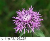 Василек луговой (Centaurea jacea) Стоковое фото, фотограф Алёшина Оксана / Фотобанк Лори