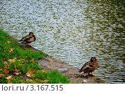 Две утки на берегу водоема. Стоковое фото, фотограф Трошина Елена / Фотобанк Лори