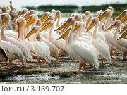 Купить «Пеликаны», фото № 3169707, снято 14 ноября 2011 г. (c) Дмитрий Краснов / Фотобанк Лори