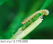Купить «Личинка пилильщика (Tenthredinidae) на стебле травы», эксклюзивное фото № 3179099, снято 28 июня 2009 г. (c) Алёшина Оксана / Фотобанк Лори