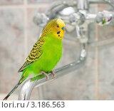 Купить «Волнистый попугай сидит на водопроводном кране в ванной», эксклюзивное фото № 3186563, снято 25 января 2012 г. (c) Игорь Низов / Фотобанк Лори