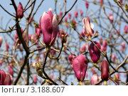 Купить «Магнолия цветет», фото № 3188607, снято 29 марта 2011 г. (c) Ирина Иванова / Фотобанк Лори