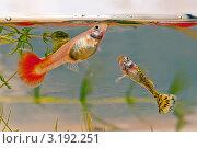 Пара гуппи. Самка и самец. Стоковое фото, фотограф Елена Алексеева / Фотобанк Лори