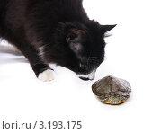 Купить «Кот нюхает черепаху», эксклюзивное фото № 3193175, снято 28 января 2012 г. (c) Куликова Вероника / Фотобанк Лори