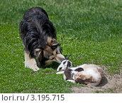 Собака вылизывает котят на зеленой лужайке. Стоковое фото, фотограф Нина Ефремова / Фотобанк Лори